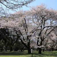 ★今日の桜@小金井公園