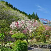 地福寺(延岡市)の 桜とツツジ ~ 2020年3月 見事な紅白協演でした。