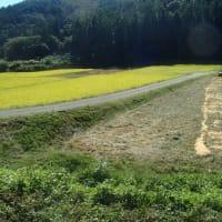 ようやく完了~。元田んぼの小麦畑化「セスバニアmixの裁断&鋤き込み」