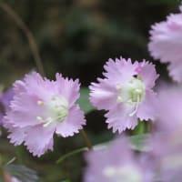 咲いていたのは、錨に袴に団扇