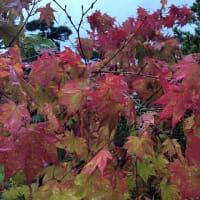 色鮮やかに色付いた紅葉が雨に濡れて