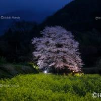 神奈川の一本桜