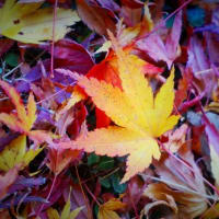 20-11.20blg:金桜神社境内の紅葉その二