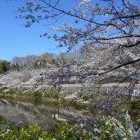 2020年花島公園さくら満開