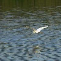 鶴見緑地の白鷺達