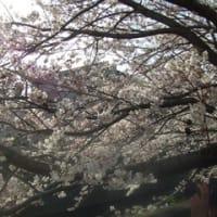 桜がキレイですね