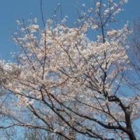 春☆桜の写真を撮りました!