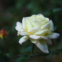 晩秋のバラ・ピース