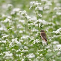 白そばの花畑でノビタキ~⑦~