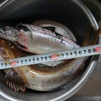 今期の鱒釣り釣果