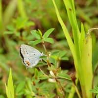新潟の野蝶 ツバメシジミ