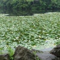 (昭和の森)のスイレンと(水辺の郷公園)の沼杉の気根