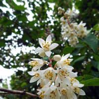 ウツギ - 神代植物公園 植物多様性センター