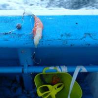 ショウサイフグ釣行記3