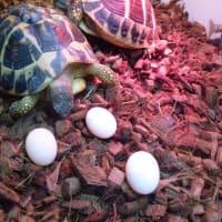 ニシヘルマン3号が初産卵しました。