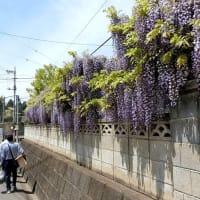 第1159回 富岡市 宮崎公園 つつじ祭り。