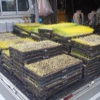 一回目の苗をハウスに出して2回目の籾を発芽させて乾燥