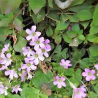 ムラサキカタバミ 紫酢漿草 片喰