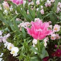 フリンジ咲き系チューリップ
