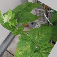 2020年10月のラズベリー:10/1~赤い実と花、10/4、10/10、10/12収穫~10/30