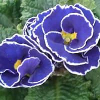 アコーリス・グンジョウノソラの花は