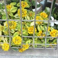 リシマキア Lysimachia 斑入り葉