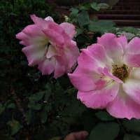 総合レクレーション公園・フラワーガーデン のバラ散歩。 PART-2