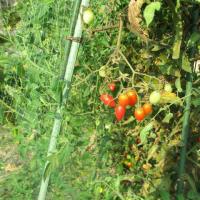 ミニトマトの撤去