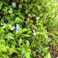 ゲンノショウコ、と    花を育てるステキ     千葉県市川浦安アスファルト脇植物園・自宅