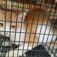 飼主の居ない猫の避妊、去勢手術2匹済ませました。加須市