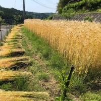 麦刈りが始まりました