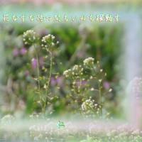 『 花なずな待つ間もいのち躍動す 』遊行期游泳575zqv1808