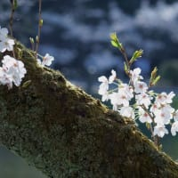 ●奥卯辰山健民公園 満開の桜 コブハクチョウのコロちゃん