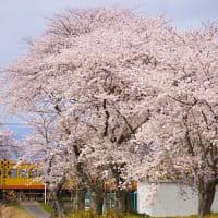 6年前の桜