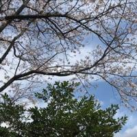 実家の花見…桜