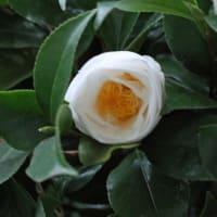 3 / 1 「  片栗 ペチコート水仙  木瓜 花韮 椿 」