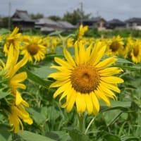 館野小学校前のヒマワリ畑(館山市館野)