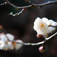 あられが上がって、梅の花。。