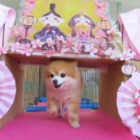 幼稚園体験にきてくれたチワワの【リトルリリーちゃん】 犬のしつけ教室@アロハドギー