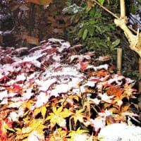 19-11-20 紅葉・初雪
