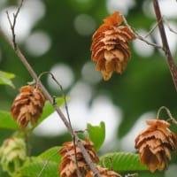 ●秋の気配 コムラサキの実 ニシキギの紅葉 コブシの実 クマシデ(熊四手)白萩 赤トンボ どんぐり ニラの花