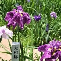 萩原万葉公園花しょうぶ祭り