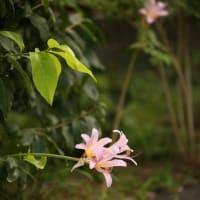 ナツズイセン(ピンクの彼岸花)