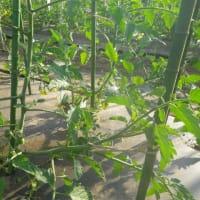 トマト誘引芽かき1作目、ニンニクサビ病