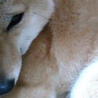 ド・アップ【柴犬日記】
