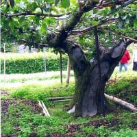 20世紀梨親木