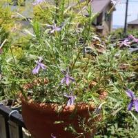 イソトマ! 清華と恋華は 濃い青(紫系)とローズ色の New品種です ♡