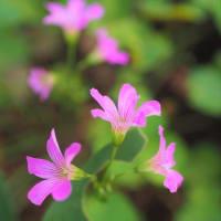 貴重なカタバミの花