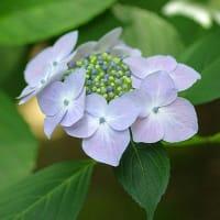 額紫陽花。きょうの一句「四葩(よひら)」(写真俳句)