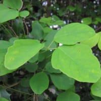 ミツバアケビ(三葉木通)の雌花と雄花